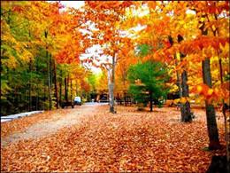 加拿大枫树