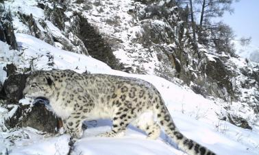 Snow leopard protection project launched in Xinjiang