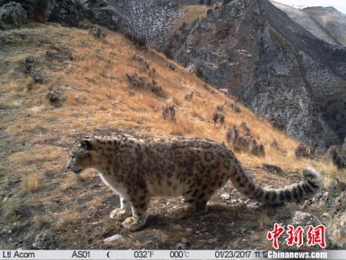 通过多年来对三江源地区雪豹监测,目前初步估算数量在1000只以上,是全球雪豹连片分布最为集中的地区,其中仅澜沧江源头地区就栖息着300余只雪豹。