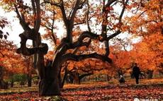 什川梨园秋景