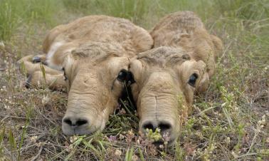 Saiga antelope has the perfect nose for the haze season