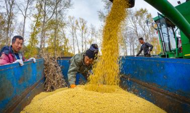Futures price insurance helps Chinese soybean farmers hedge risk