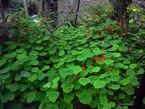 露地栽植的旱金莲