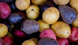 彩色马铃薯
