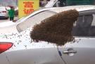 慎入!蜂王率近万只蜜蜂包围私家车 车主哭笑不得