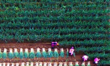 Farmers busy harvesting green Chinese onions in E China's Shandong