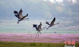 大批珍禽候鸟飞抵鄱阳湖越冬
