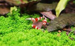 B级水晶虾
