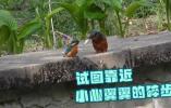 雄翠鸟送鱼给雌翠鸟被拒,最后自己吃了