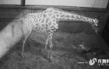 """100秒丨""""大眼萌妹""""诞生记!帮可爱的长颈鹿宝宝取个名字吧~"""