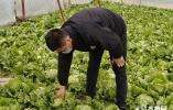 闪电公益丨10多吨生菜滞销 济南市济阳区小贺铺村农户急需爱心帮助