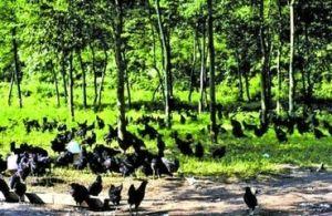 城口山地鸡