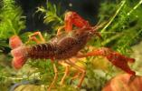 浙江農林大學生研究小龍蝦獲國家級項目支援