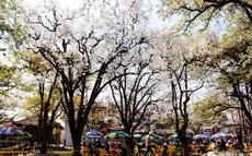 什川梨园春景