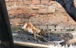 """杨絮引燃房屋,12只羊不幸烧成""""烤全羊"""""""